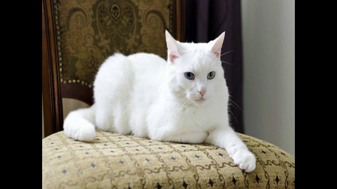 यह जादुई बिल्ली बताएगी फीफा 2018 की विजेता टीम का नाम 15
