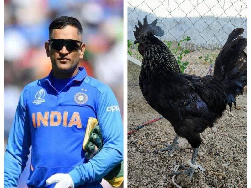 जैविक खेती के बाद अब कड़कनाथ मुर्गों की फार्मिंग करेंगे महेंद्र सिंह धोनी, चूजों का दिया है आर्डर 4