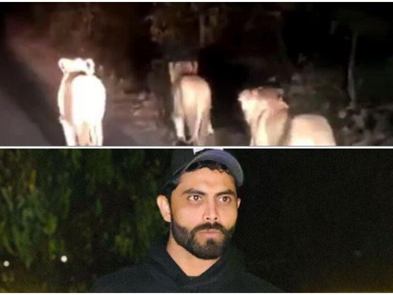रविन्द्र जडेजा ने बेहद करीब से बनाया शेरों के झुंड का वीडियो, सोशल मीडिया में किया शेयर 11